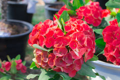 Close up of Red euphorbia milii. Royalty Free Stock Photography