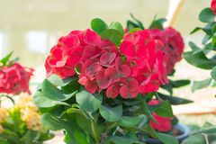 Close up of Red euphorbia milii. Royalty Free Stock Photos