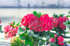 Close up of Red euphorbia milii. Stock Images