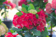 Close up of Red euphorbia milii. Stock Image