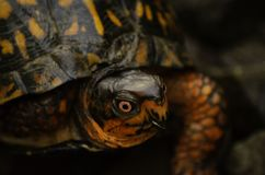 Eastern box turtle. Close up of the red eyes on an eastern box turtle. Northern virginia railroad tracks Creepy royalty free stock photo