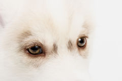 Close up on red eyes puppy Stock Photography