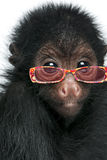 Close-up of Red-faced Spider Monkey  wearing sunglasses Royalty Free Stock Image