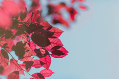Close-up red fall leaves on a blue sky background. Colorful foliage on brown branches in a bright park. Beautiful environment. Multiple bright pink leaves on a royalty free stock images