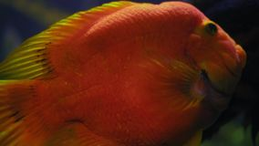 Close-up, red fish swims in the aquarium behind the glass stock footage