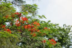 Red Flamboyant flower. Close up Red Flamboyant flower,The Flame Tree , Royal Poinciana Royalty Free Stock Photo