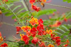 Red Flamboyant flower. Close up Red Flamboyant flower,The Flame Tree , Royal Poinciana Royalty Free Stock Photography