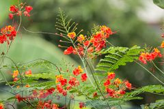 Red Flamboyant flower. Close up Red Flamboyant flower,The Flame Tree , Royal Poinciana Stock Photos