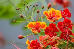 Red Flamboyant flower. Close up Red Flamboyant flower,The Flame Tree , Royal Poinciana Stock Images