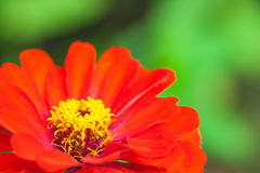 Close up of red flower. Beautiful floral use as background. Outd. Close up of red flower against blurred green background. Beautiful floral use as background Royalty Free Stock Photography