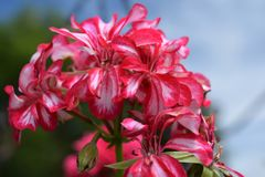 Close up red flower in the farm agricultur and beauty stock images