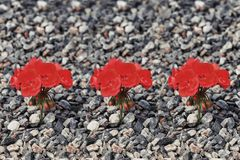 Close-up of red flower growing up from the gravel. The concept of life and motivation vector illustration