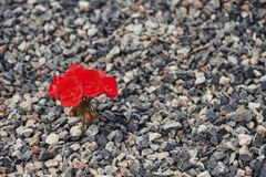 Close-up of red flower growing up from the gravel. The concept of life and motivation stock image