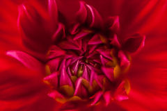 Close up of a red flower #4 Stock Image
