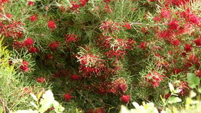 Close-up of red flowers. Of australian grevillea olivacea x thelemanniana stock video footage