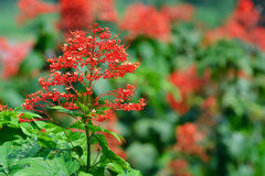 Close up red flowers of Clerodendrum Paniculatum or Pagoda Flower taken Stock Photos
