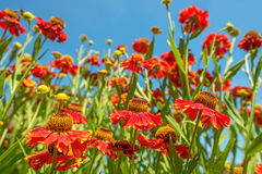 Close up of red flowers Royalty Free Stock Image