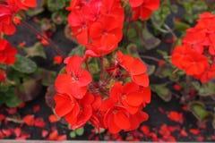 Closeup of red flowers of zonal pelargonium. Close up of red flowers of zonal pelargonium Stock Photography
