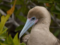 Close up of Red Footed Booby Stock Image