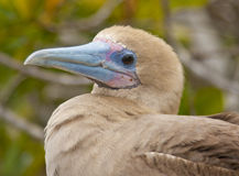 Close up of Red Footed Booby Stock Photos