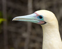 Close up of Red Footed Booby Royalty Free Stock Images