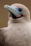 Close-up of Red-footed Booby, Galapagos Islands Stock Photography