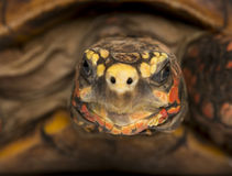 Close-up of a Red-footed tortoise facing Royalty Free Stock Images