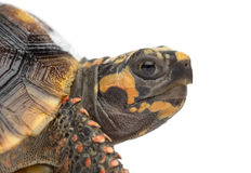 Close-up of a Red-footed tortoises, Chelonoidis. Close-up of a Red-footed tortoises (1,5 years old), Chelonoidis carbonaria, in front of a white background Stock Photos