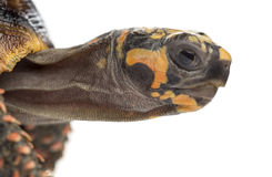 Close-up of a Red-footed tortoises, Chelonoidis Stock Images