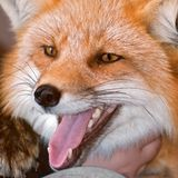 Close up Red Fox Stock Photography
