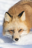 Close-up of Red fox Stock Image