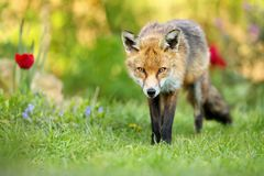 Close up of red fox standing on the grass in the garden. With spring flowers, UK Royalty Free Stock Photos