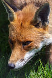 Close-up of a Red Fox (Vulpes vulpes) Stock Images