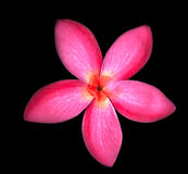 Close up of red frangipani flowers on black background Stock Photos