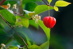Red fruit. The close-up of a red fruit on branch. Scientific name: Eugenia uniflora Stock Image