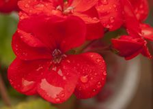 Close up of red geranium flower. royalty free stock photography