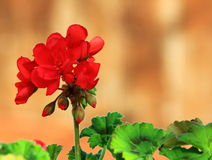 Close up of a red Geranium flower. Red geranium flower and leaves close up in a garden Royalty Free Stock Images