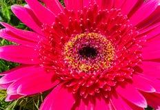 A close-up of a red gerbera. A close-up of a beautiful sunlit red gerbera Stock Image