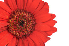 Close up of red gerbera flower Royalty Free Stock Image
