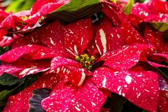 Traditional red poinsettias Christmas flowering plant Royalty Free Stock Photos