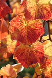 Close up of red and gold vine leaves Royalty Free Stock Photography
