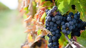 Close up on red grapes in a vineyard in late summer short before harvest. royalty free stock images