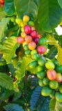 Red and green coffee beans royalty free stock photos