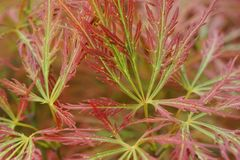 Close-up of red-green leaves of the dwarf maple Acer japonicum i. Close-up of the red-green leaves of the dwarf maple Acer japonicum intertwined in the foothills Royalty Free Stock Image