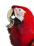 Close-up of a Red-and-green macaw cleaning itself. Isolated on white Stock Image