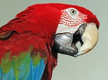 Macaw. Close up of red and green macaw parrot with open beak in profile Royalty Free Stock Image