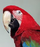 Macaw. Close up of red and green macaw parrot in profile Stock Images
