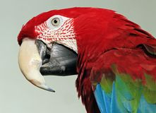 Macaw. Close up of red and green macaw parrot in profile Stock Photos