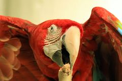 Macaw Royalty Free Stock Images