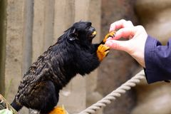Red handed tamarin eating from a persons hand Royalty Free Stock Photos